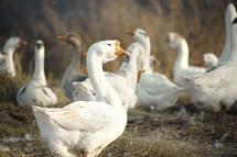 geese in hay