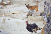 dog, turkey, and chicken