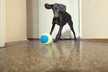 dog chasing a ball