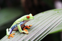 A colorful tree frog on a jungle leaf
