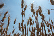 wheat grains closeup