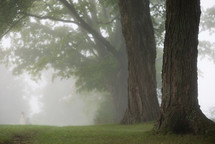 Lofty trees in the morning mist.