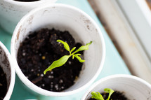 sprouts in dirt in styrofoam cups
