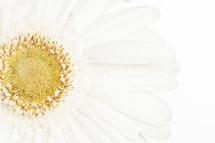 closeup of a white gerber daisy