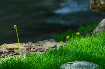 petaless dandelion