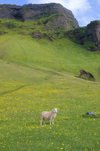 long horn sheep on green landscape