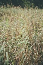 tall grasses outdoors