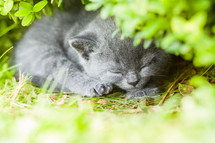 A sleeping kitten.
