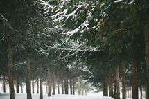 falling snow in a pine forest