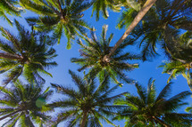 tops of palm trees against a blue sky