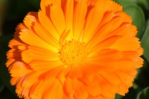 Edible bright Orange flower background, Calendula, also known as pot marigold