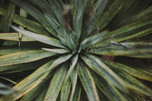 A green spiky plant.