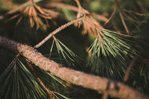 pine needles on a tree branch