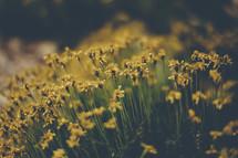 Sunshine on yellow flowers.