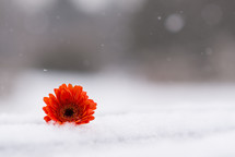 gerber daisy in snow