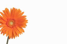 Orange Gerber daisy.