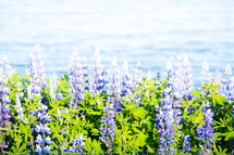 blue flowers and ocean view