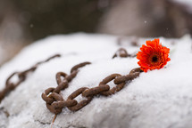 rusty chain and flower in snow