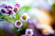 small violet flowers