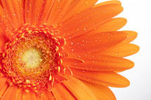 closeup of an orange gerber daisy