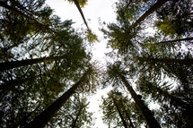 looking up to the top of tall trees