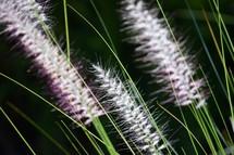 fuzzy white tops of grasses