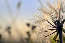 dandelion seeds closeup