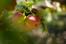 apples hanging on a tree