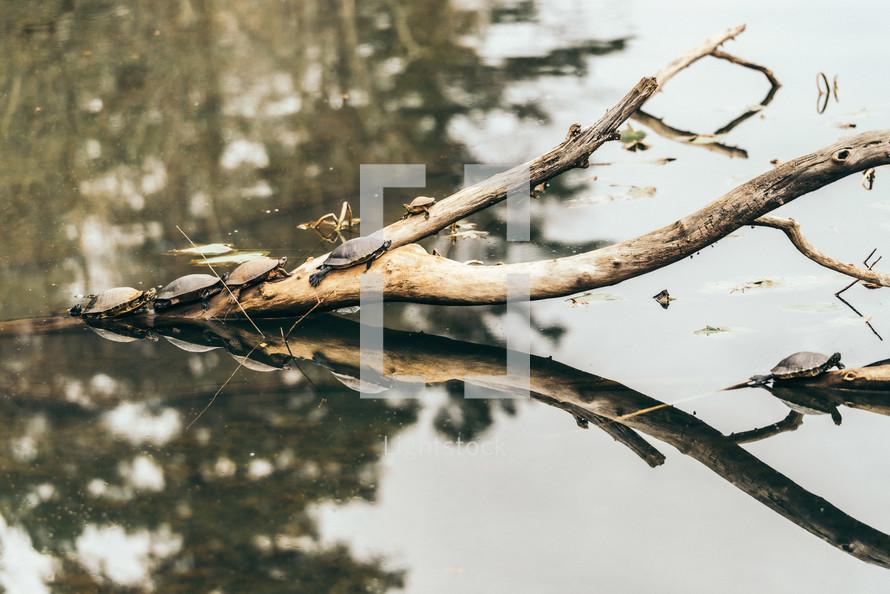 turtles basking on a branch