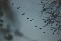 Canadian geese flying overhead.