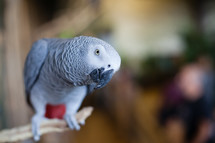African Grey Parrot peers toward you as if about to say something