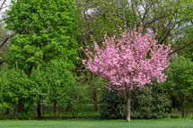 A single tree with pink flowers contrasts with a grove of green trees