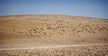 shepherd and his flock in Israel