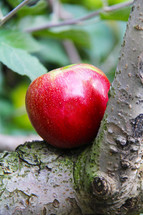 red apple on a tree branch