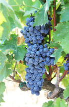Grape vine and ripe cluster of grapes close up
