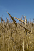 Stalks of wheat grains in a field ready for harvest