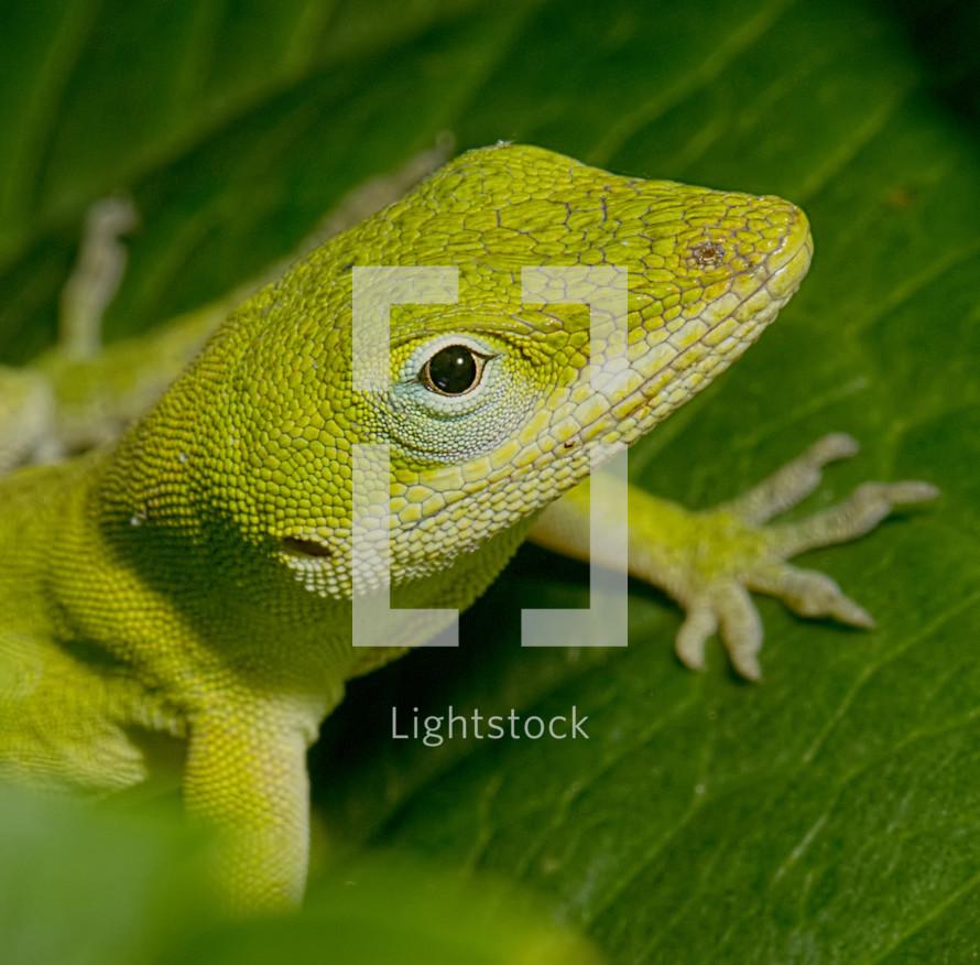 Lizard face.