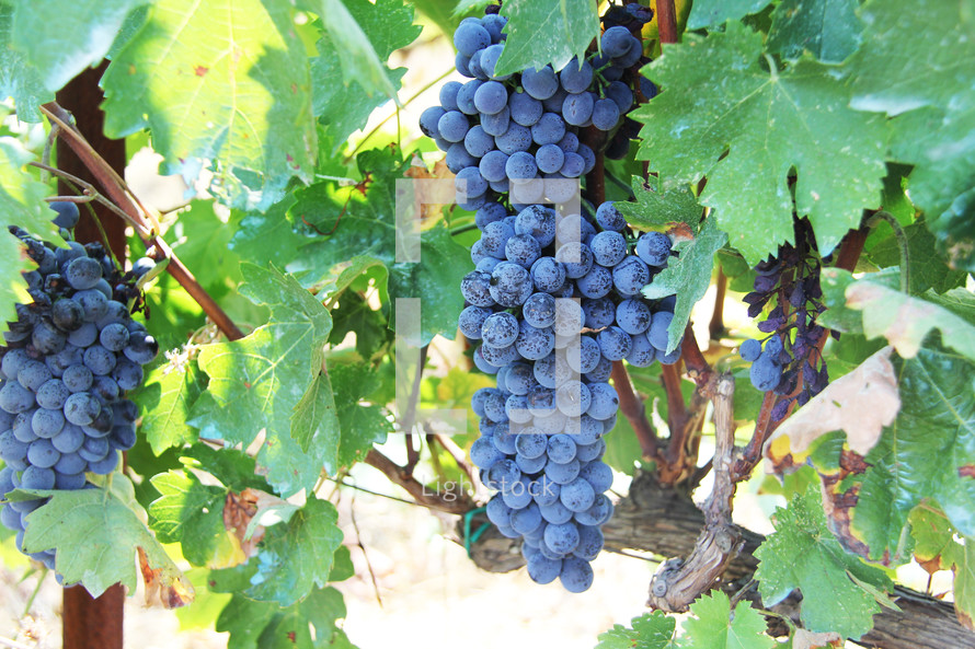Grapes on a vine ripe and ready for harvest