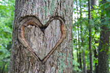 Valentine heart shape carved into a tree trunk
