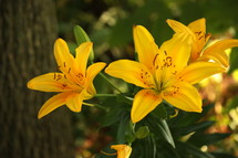 Yellow Easter lilies growing near a tree.