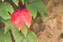 single red leaf amongst green leaves