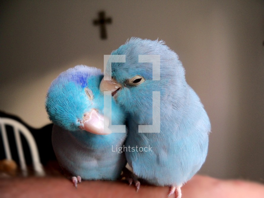 Two parrot birds grooming each other and enjoying the first signs of Spring, warm air and the celebration of Easter with the cross of Jesus in the background. With Christ being the center of any relationship, love can flourish and grow as it is designed to do.