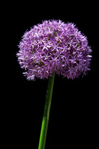 giant allium flower