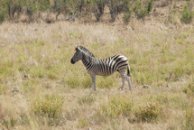 Zebra in field with its distinctive black and white stripes