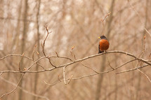 Robin bird on tree branch