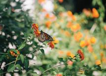 butterfly on orange flowers