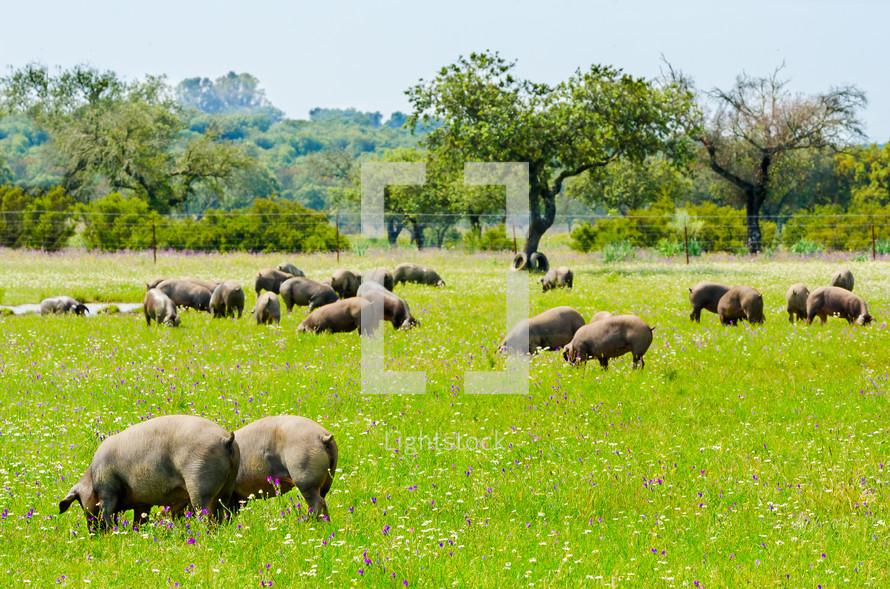 pigs in a field