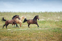 galloping horses in a field