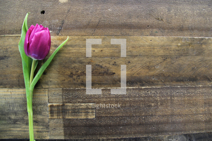A single purple tulip laying on a wooden surface.