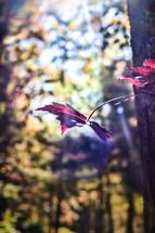 sunlight on a maple leaf on a tree